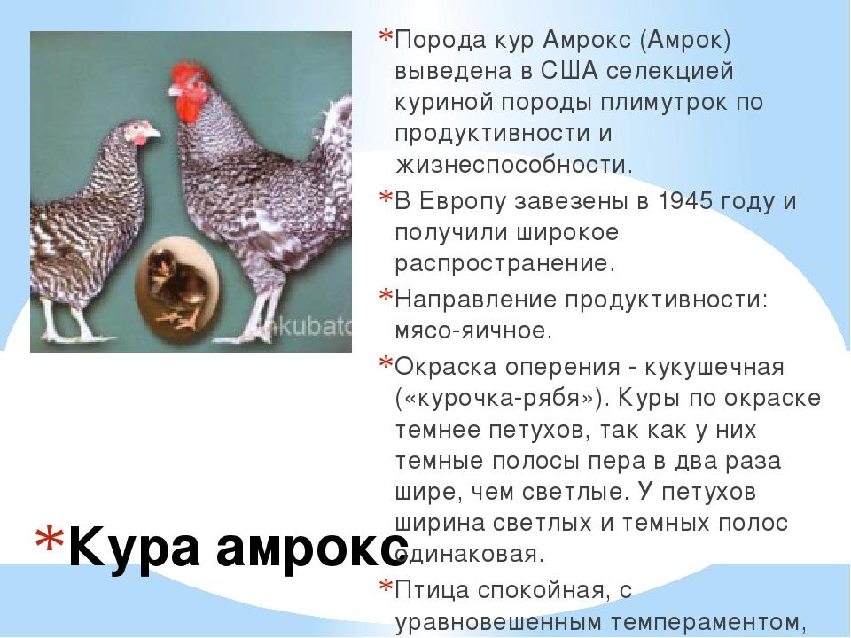 Кура амрокс Порода кур Амрокс (Амрок) выведена в США селекцией куриной породы...