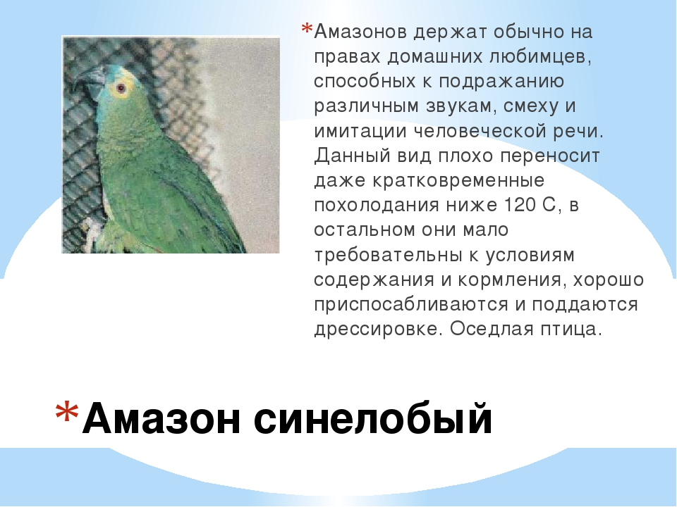 Амазон синелобый Амазонов держат обычно на правах домашних любимцев, способн...