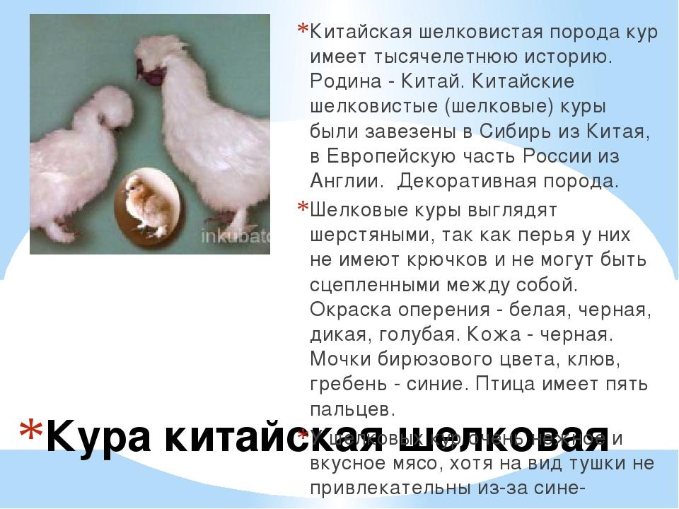 Кура китайская шелковая Китайская шелковистая порода кур имеет тысячелетнюю и...