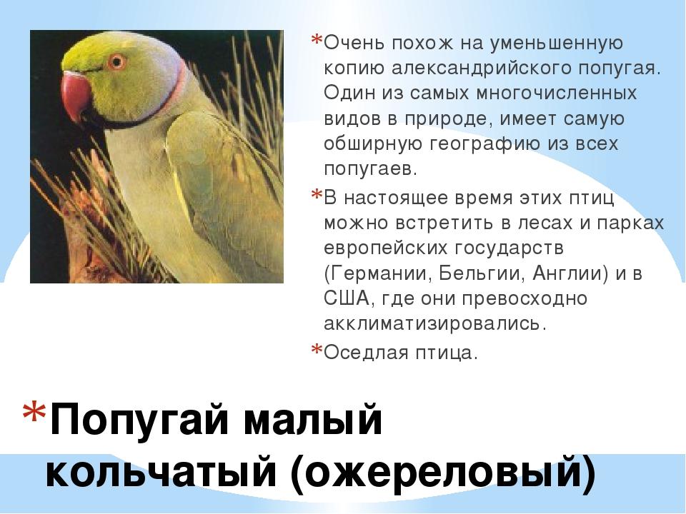 Попугай малый кольчатый (ожереловый) Очень похож на уменьшенную копию алекса...