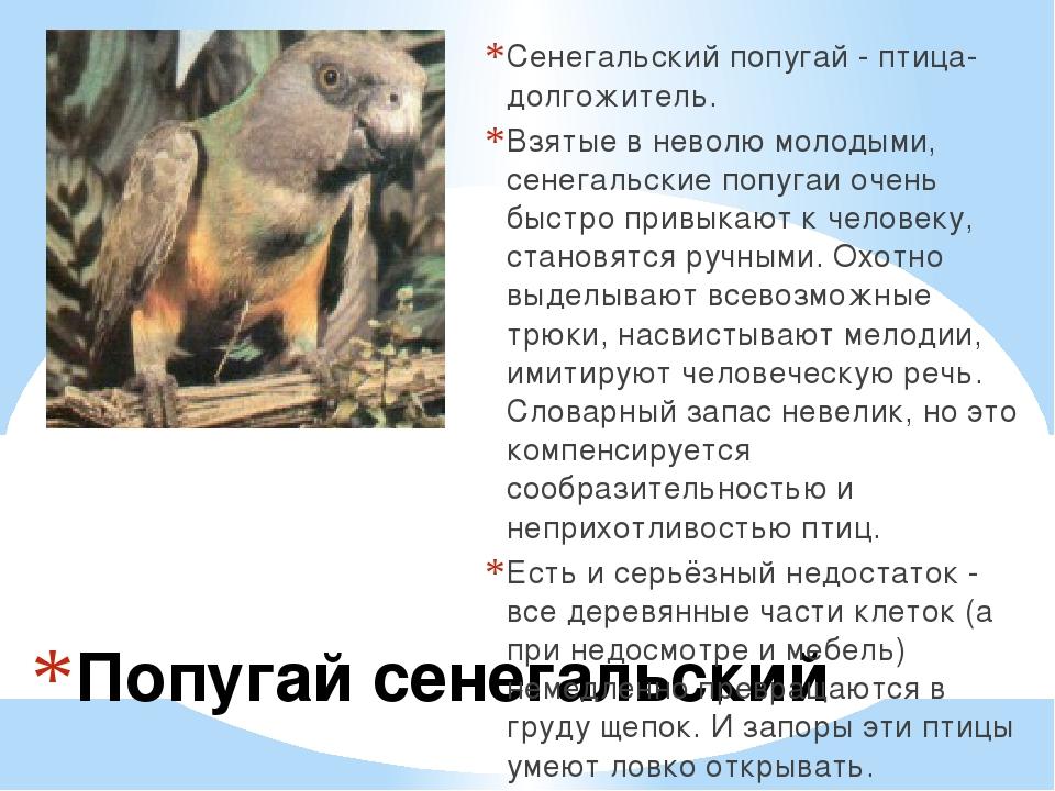 Попугай сенегальский Сенегальский попугай - птица-долгожитель. Взятые в нево...