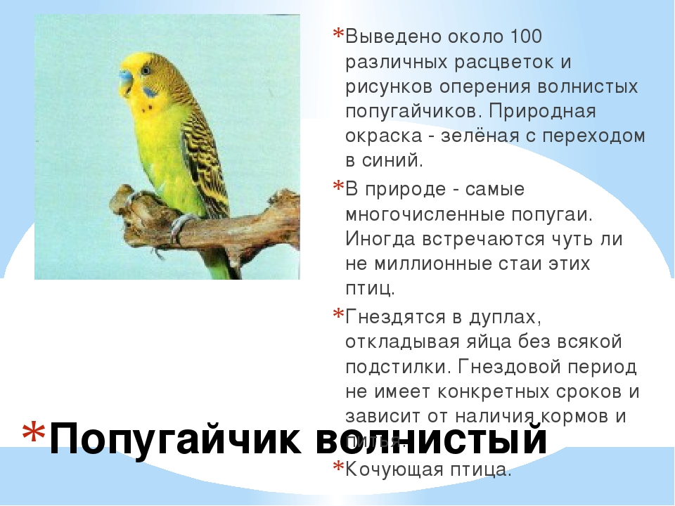 Попугайчик волнистый Выведено около 100 различных расцветок и рисунков оперен...