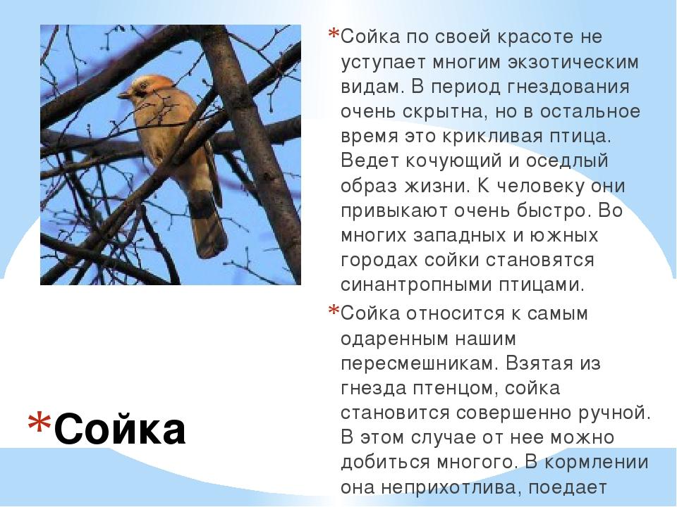 Сойка Сойка по своей красоте не уступает многим экзотическим видам. В период...