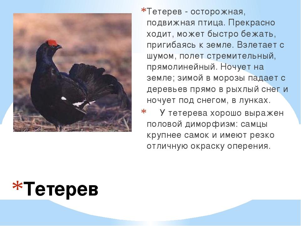 Тетерев Тетерев - осторожная, подвижная птица. Прекрасно ходит, может быстро...
