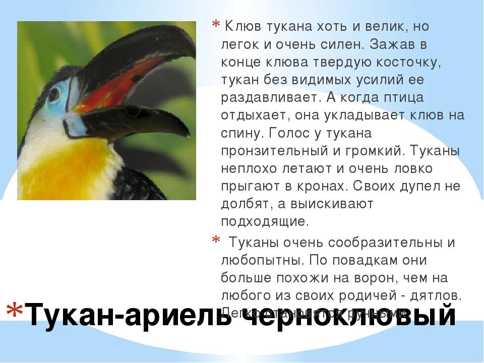 Тукан-ариель черноклювый Клюв тукана хоть и велик, но легок и очень силен. З...