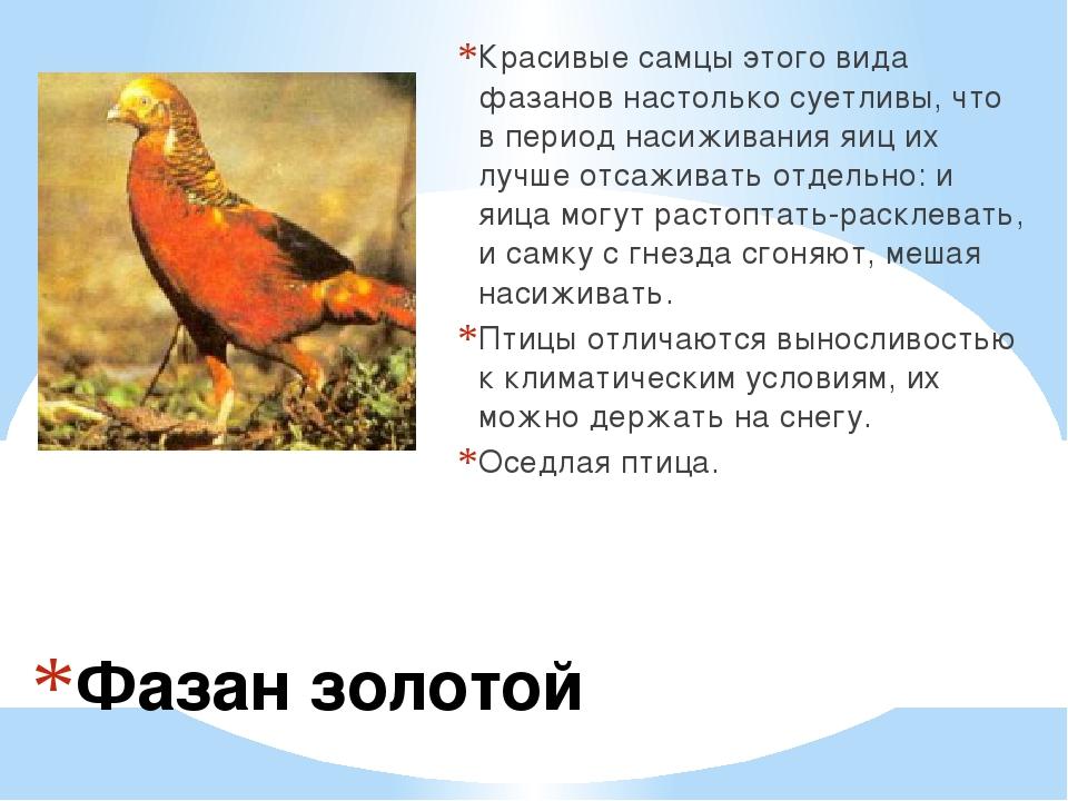 Фазан золотой Красивые самцы этого вида фазанов настолько суетливы, что в пер...