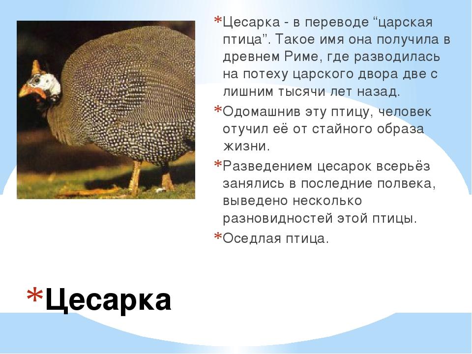 """Цесарка Цесарка - в переводе """"царская птица"""". Такое имя она получила в древне..."""