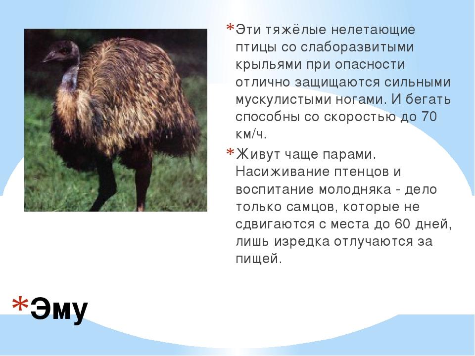 Эму Эти тяжёлые нелетающие птицы со слаборазвитыми крыльями при опасности отл...