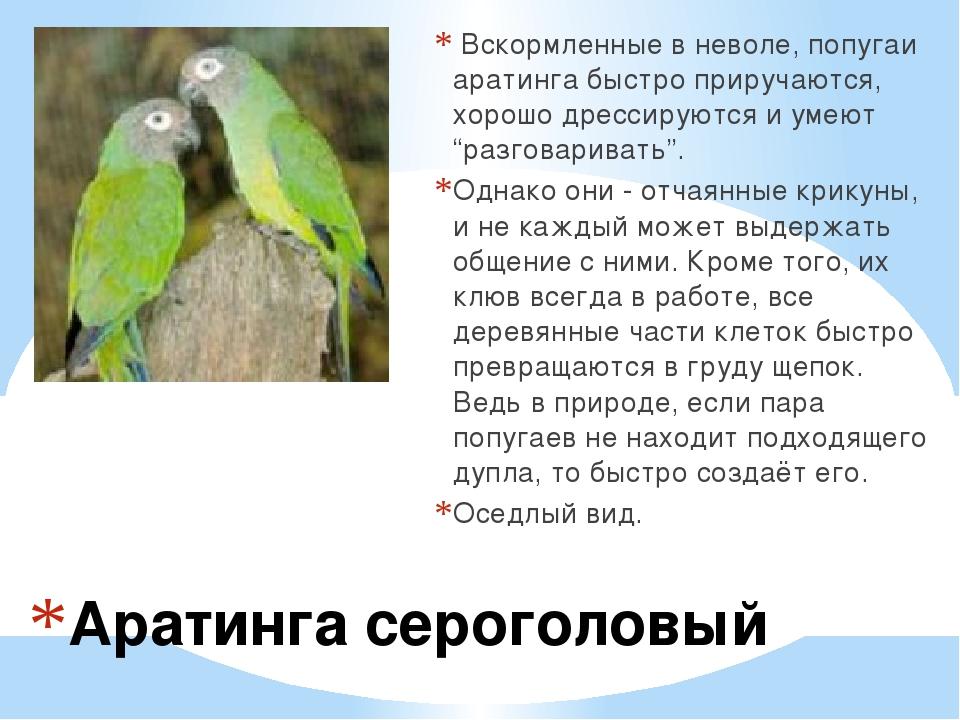 Аратинга сероголовый Вскормленные в неволе, попугаи аратинга быстро приручаю...