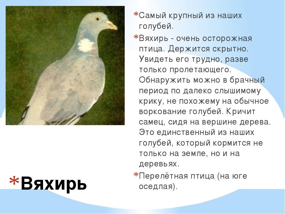 Вяхирь Самый крупный из наших голубей. Вяхирь - очень осторожная птица. Держ...