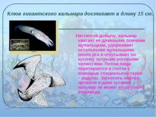 Настигнув добычу, кальмар хватает ее длинными ловчими щупальцами, удерживает