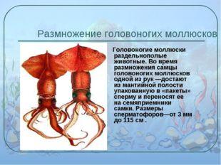 Размножение головоногих моллюсков Головоногие моллюски раздельнополые животны