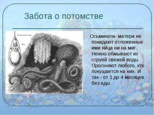 Забота о потомстве Осьминоги- матери не покидают отложенные ими яйца ни на м