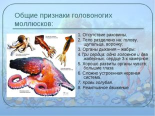Общие признаки головоногих моллюсков: 1. Отсутствие раковины, 2. Тело разделе