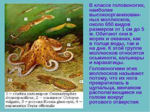 В классе головоногих, наиболее высокоорганизован-ных моллюсков, около 650 ви