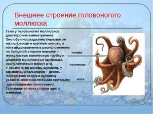 Внешнее строение головоногого моллюска Тело у головоногих моллюсков двусторон