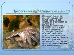 Присоски на щупальцах у осьминога Осьминог. Осьминог изобрел изощренный метод