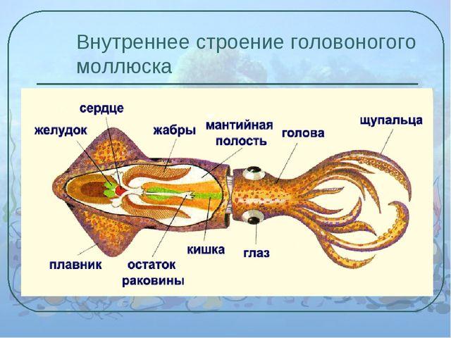 Внутреннее строение головоногого моллюска