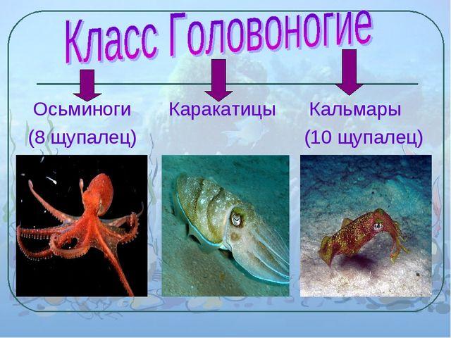 Осьминоги Каракатицы Кальмары (8 щупалец) (10 щупалец)