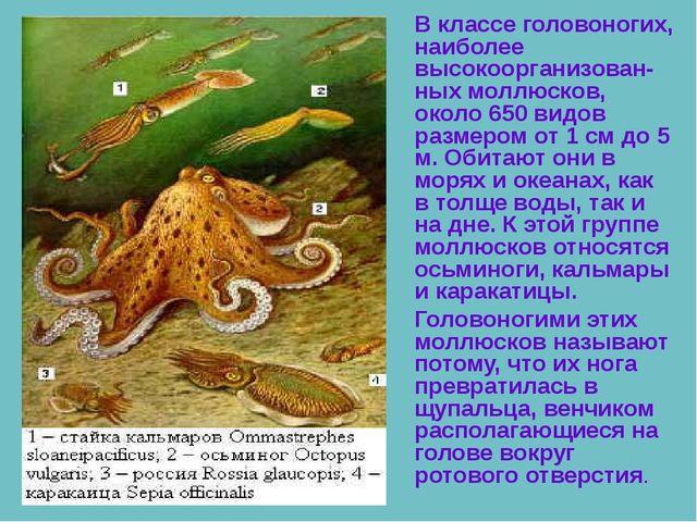В классе головоногих, наиболее высокоорганизован-ных моллюсков, около 650 ви...