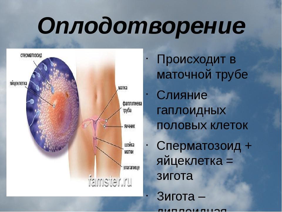 Оплодотворение Происходит в маточной трубе Слияние гаплоидных половых клеток...