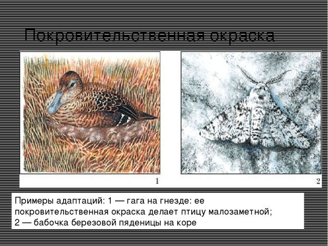 Покровительственная окраска Примеры адаптаций: 1 — гага на гнезде: ее покрови...