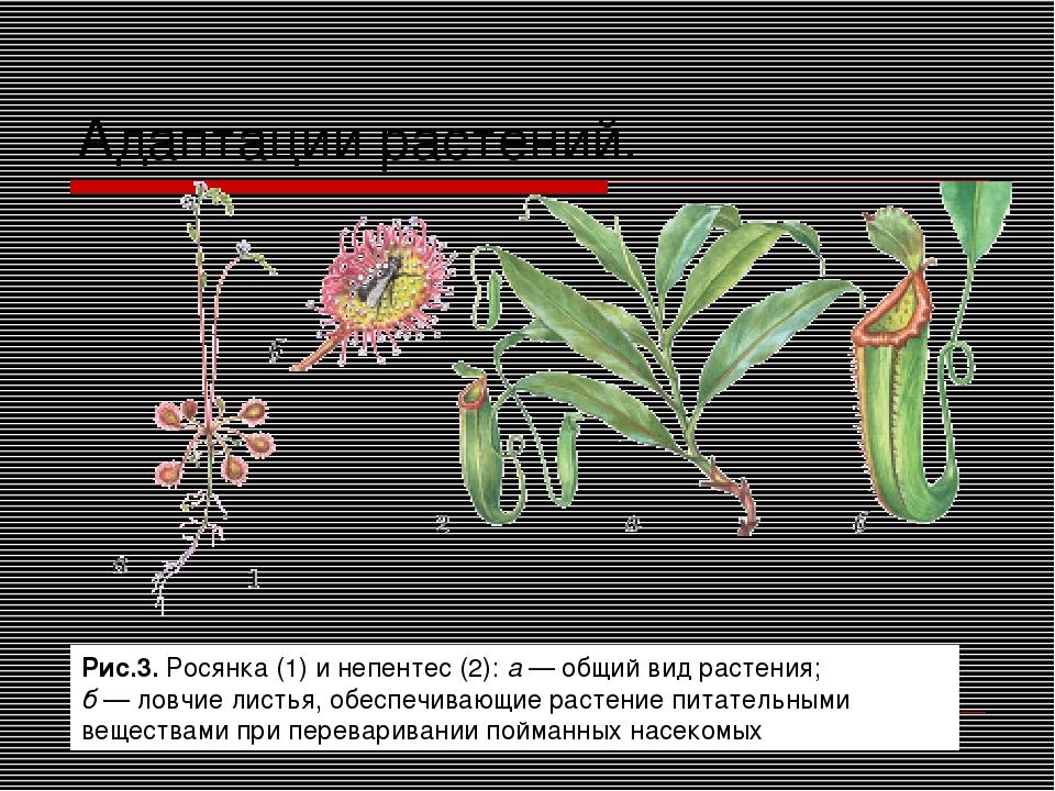 Адаптации растений. Рис.3. Росянка (1) и непентес (2): а — общий вид растения...