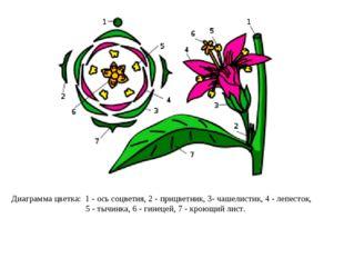 Диаграмма цветка: 1- ось соцветия, 2- прицветник, 3- чашелистик, 4- лепест