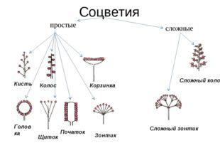 Соцветия Сложный колос Сложный зонтик Щиток Початок Головка Зонтик Корзинка К