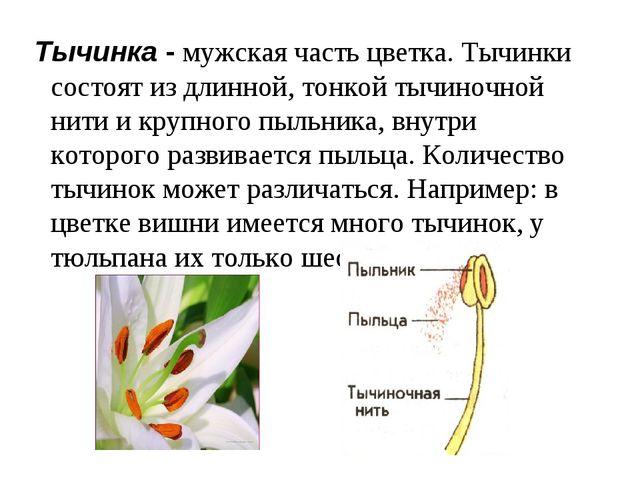 Тычинка - мужская часть цветка. Тычинки состоят из длинной, тонкой тычиночно...