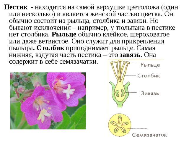 Пестик - находится на самой верхушке цветоложа (один или несколько) и являе...