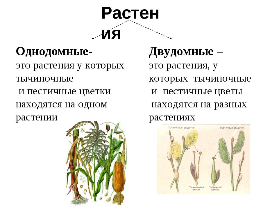 Растения Однодомные- это растения у которых тычиночные и пестичные цветки нах...