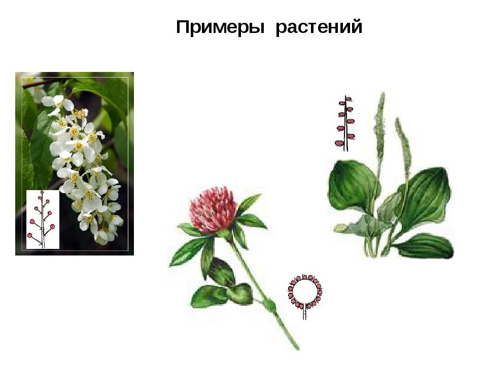 Примеры растений