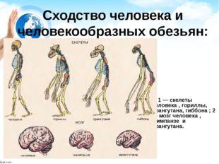 Сходство человека и человекообразных обезьян: 1 — скелеты человека , гориллы,