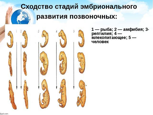 Сходство стадий эмбрионального развития позвоночных: 1 — рыба; 2 — амфибия;...