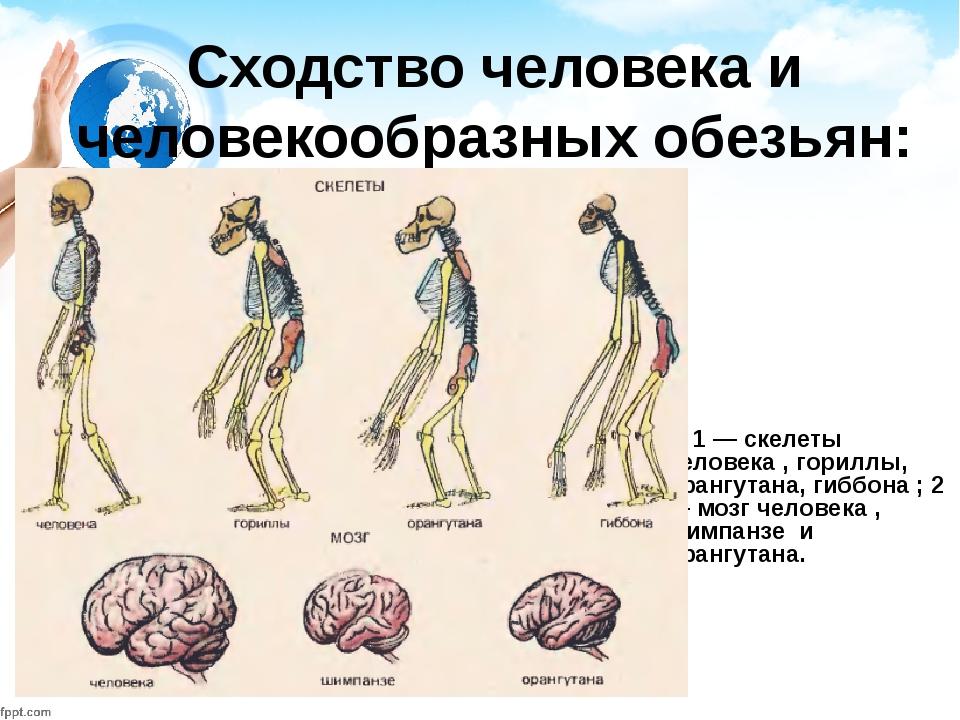 Сходство человека и человекообразных обезьян: 1 — скелеты человека , гориллы,...
