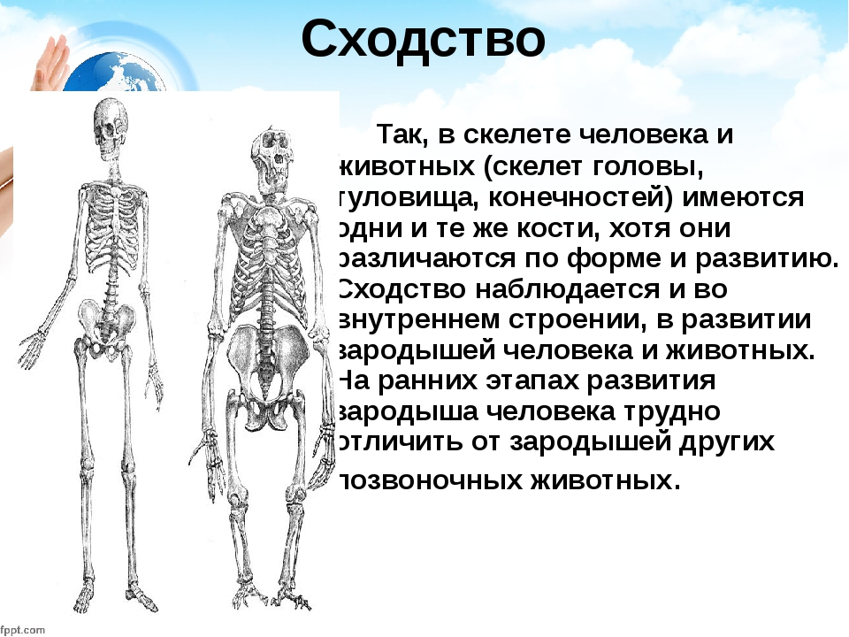 Сходство Так, в скелете человека и животных (скелет головы, туловища, конечно...