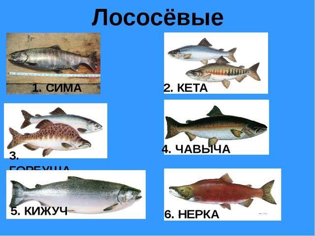 Лососёвые 1. СИМА 2. КЕТА 3. ГОРБУША 4. ЧАВЫЧА 5. КИЖУЧ 6. НЕРКА