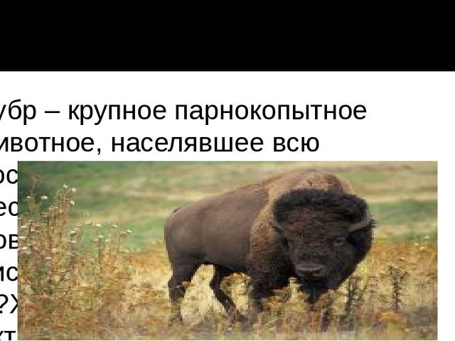 Зубр – крупное парнокопытное животное, населявшее всю восточную и западную ча...