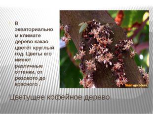 Цветущее кофейное дерево В экваториальном климате дерево какао цветёт круглый