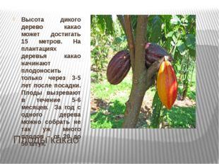 Плоды какао Высота дикого дерево какао может достигать 15 метров. На плантаци