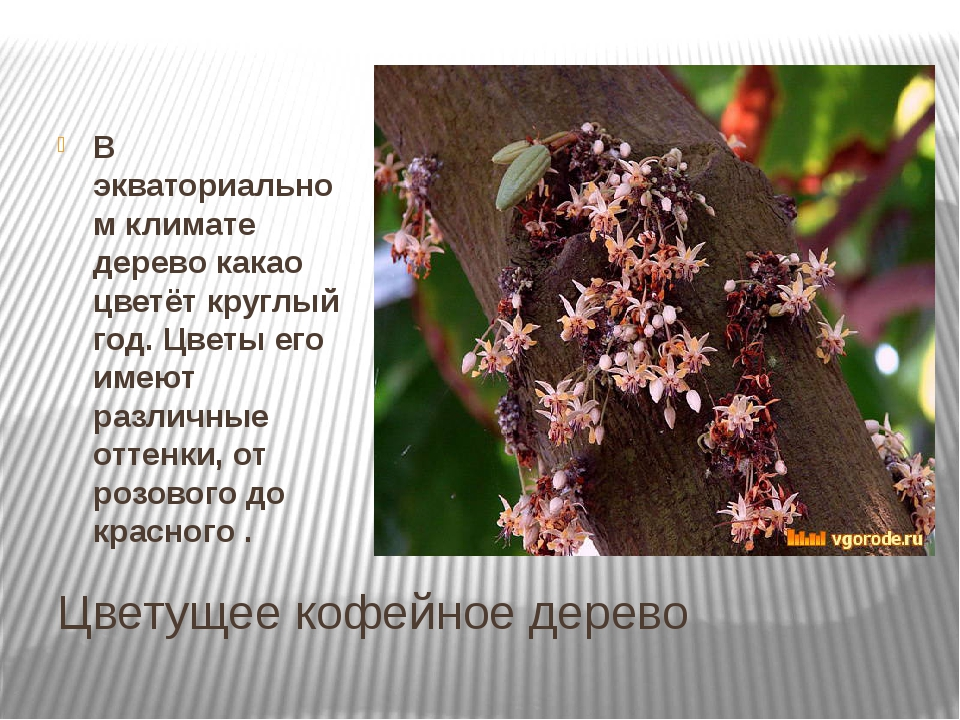 Цветущее кофейное дерево В экваториальном климате дерево какао цветёт круглый...