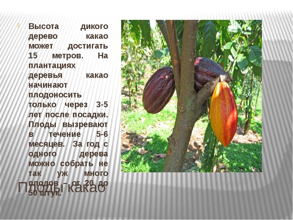 Плоды какао Высота дикого дерево какао может достигать 15 метров. На плантаци...