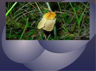 Шелкопряд одуванчиковый – исчезающий вид. О гусенице шелкопряда известно лиш
