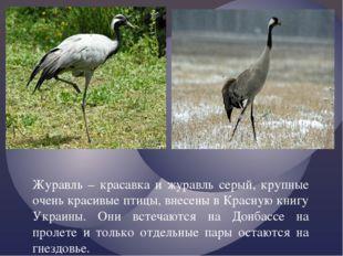 Журавль – красавка и журавль серый, крупные очень красивые птицы, внесены в
