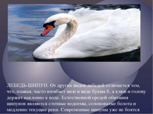 ЛЕБЕДЬ-ШИПУН. От других видов лебедей отличается тем, что, плавая, часто изги