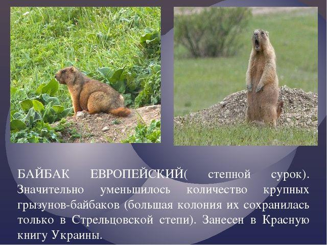 БАЙБАК ЕВРОПЕЙСКИЙ( степной сурок). Значительно уменьшилось количество крупны...