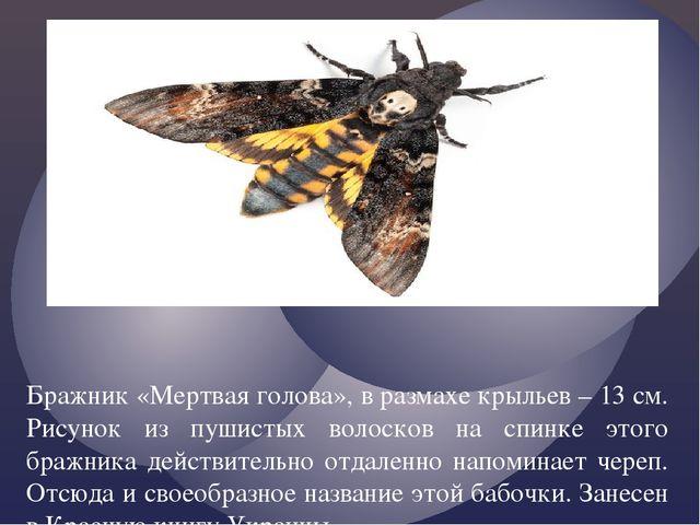 Бражник «Мертвая голова», в размахе крыльев – 13 см. Рисунок из пушистых вол...