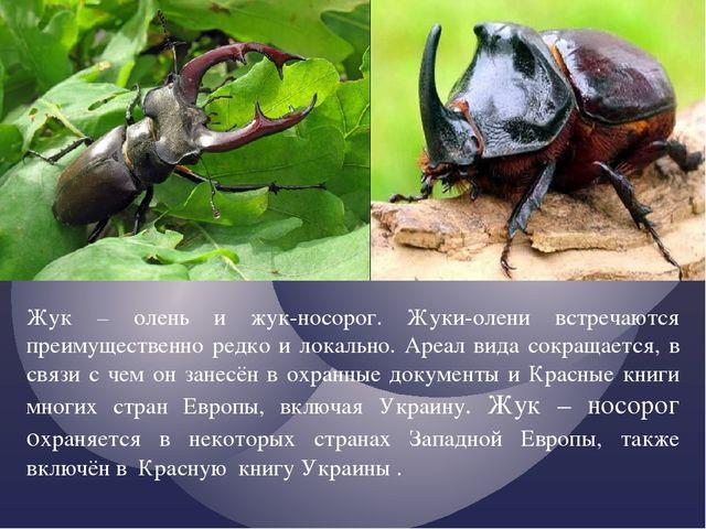 Жук – олень и жук-носорог. Жуки-олени встречаются преимущественно редко и лок...