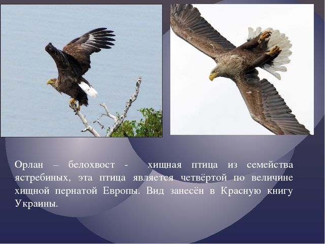 Орлан – белохвост - хищная птица из семейства ястребиных, эта птица является...